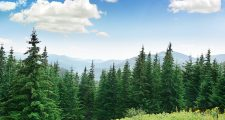 45244918 - beautiful pine trees on background high mountains